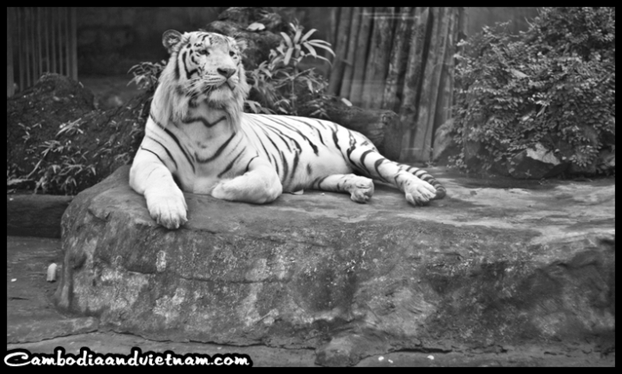 Bengal Tiger - HCMC Zoo