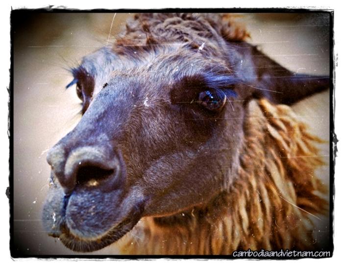 Llama - Lama Glama