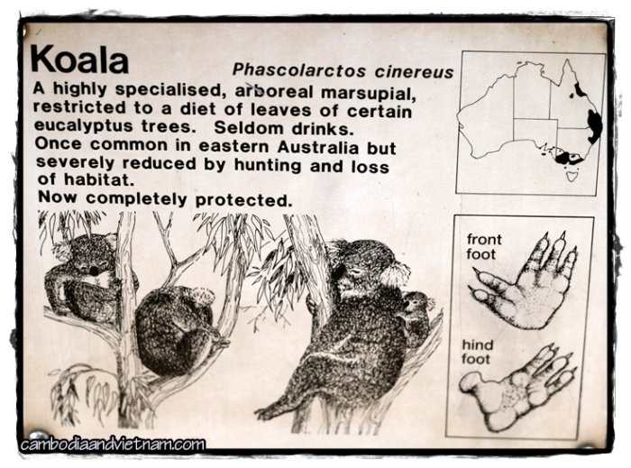 Phascolarctos Cinereus - A Koala